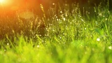 Dew Drops In Lights On Green Grass stock footage