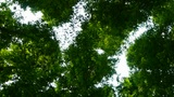 looking up the top of trees crown Footage