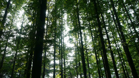 looking up the top of trees crown,forest,jungle,shade shadow Stock Video Footage