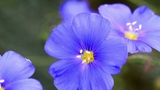 Blue Coreopsis Footage