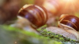 Snail Closeup In The Rays Of Sun. Transfer Of Focus stock footage