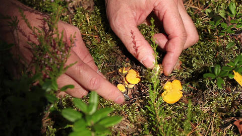 Picking Chanterelles Stock Video Footage