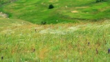 feather grass in the Crimean steppes Footage