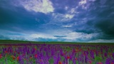 meadow sage and timelapse clouds Footage