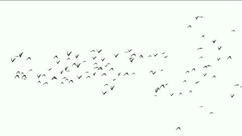 flock of pigeons birds fly over,migratory birds Animation