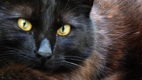 Black Cat With Green Eyes Wide Open 1 stock footage