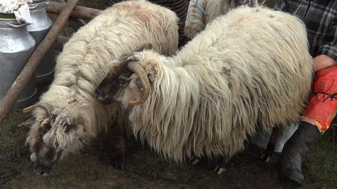Shepherds milked sheep to the sheepfold Footage