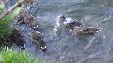 Ducks scrambling to catch fishes Footage