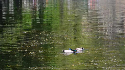 Ducks swimming along water which reflects the surrounding forest Footage