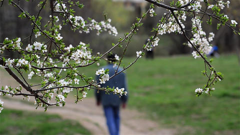 Man walks in an alley bordered by trees in bloom Footage