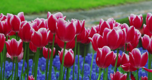 Tulips in full bloom in the park Footage