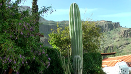 Spain Gran Canary Fataga 015 tall cactus and volcanic mountain Footage