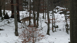 Gray wolf (Canis lupus) in winter forest Footage