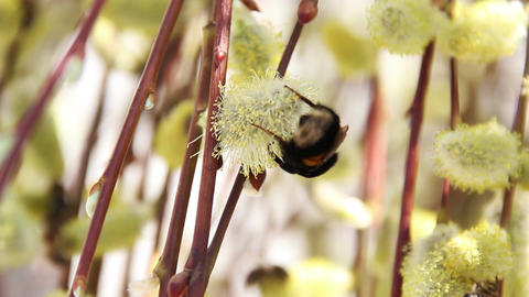 bumble-bee on blossoming willow Footage