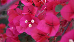 Bougainvillea Footage