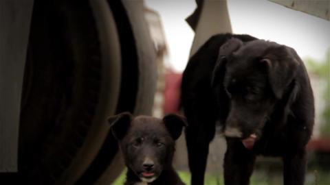Black Dog Footage