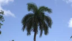 Royal Palm Tree leaves moving in gentle breeze Filmmaterial