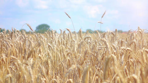 Video of wheat field in real slow motion Filmmaterial