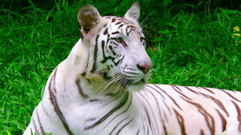 White Bengal tiger lies on green grass, slowly turns its head and looking Footage