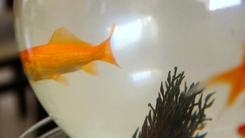 Golden fish swimming in a glass fishbowl Footage