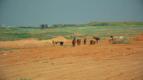 Herd of goats and sheeps wandering through the rural area