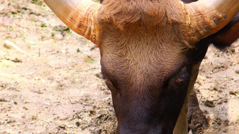 Close up portrait of Indian Gaur (bison) male. Wild animal in its nature Footage