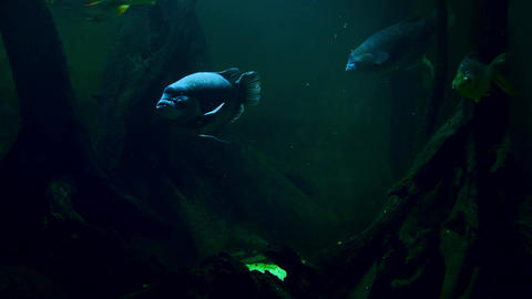 Big blue fish slowly swims. Creepy underwater species, gloomy aquatic creatures Live Action