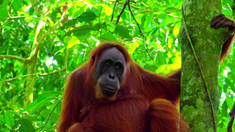 Female orangutan sits grasping tree trunk and looks around against green leaves Footage