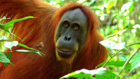 Orangutan sitting on tree and attentively looking around. Sumatra, Indonesia Footage