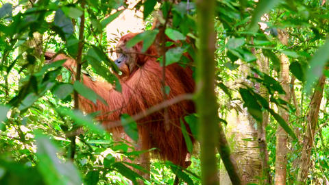 Orangutan male in tropical rainforest eating fresh leaves. Sumatra, Indonesia Footage