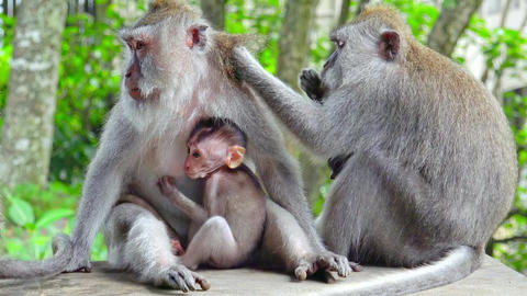 Adult monkey grooms female holding baby sticking to her chest. Indonesia Live Action