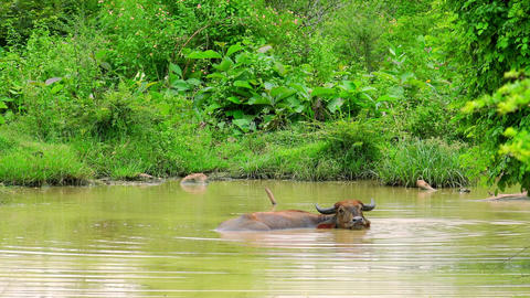 Asian water Buffalo lying relaxed in freshwater pond and chewing. Sri Lanka Footage