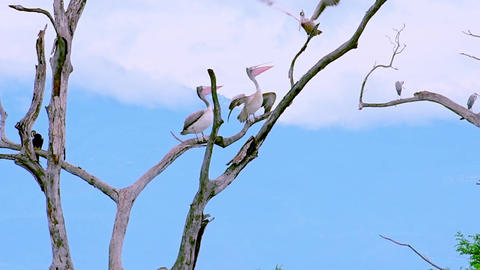 Spot-billed Pelicans grooming themselves perched on dry tree branches. Sri Lanka Footage