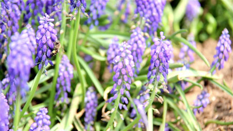 Honey bees on lavender plant