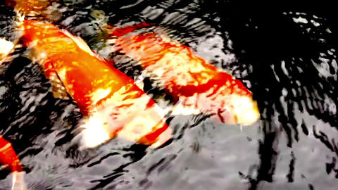Koi Fish in a Pond Footage