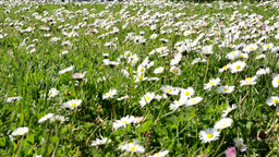 Meadow Full Of Daisies (focus On Background) stock footage