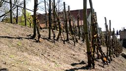 Vineyard Wine (trees) stock footage
