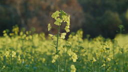Blooming Canola Plants Footage