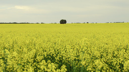 Tree in a Canola Crop Footage