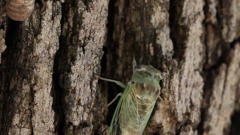 Cicada crawling on tree Live Action