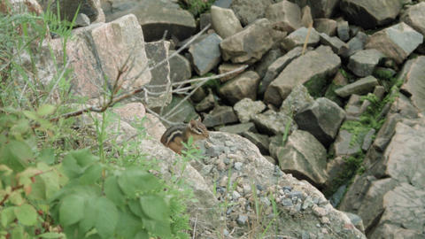 Small Squirrel hiding around rocks Footage