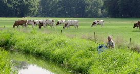 Fishing Senior River With Cows stock footage
