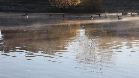 Geese On A Cold Morning Pond stock footage