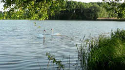 Swans on the lake with grass and trees (nature). Ducks in the background Footage