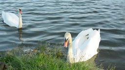 Swans on the lake shore with grass Footage