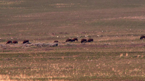 Bison moving across the grassy planes foraging for food Footage