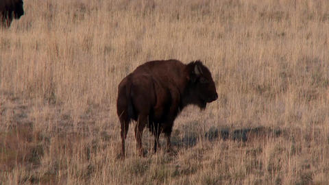 Bison walking away from the camera. Walking in the tall grass Footage