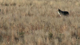 coyote moving through the grasses looking for a meal Footage