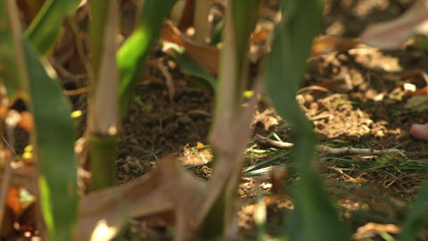 Man in a white pants walks barefoot on the ground inside a cornfield Footage