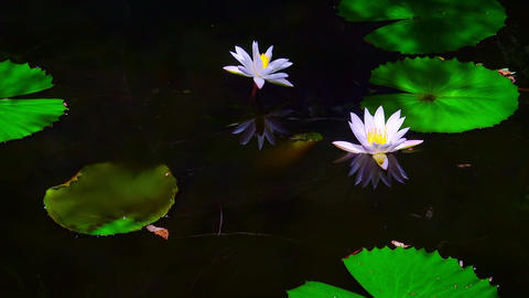 Zooming video of beautiful water lily flowers at mysterious dark pond Footage